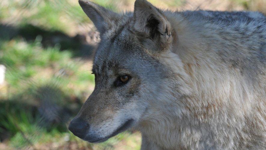 L'Aubrac et le Larzac sont classés en zone de présence permanente du loup en France.