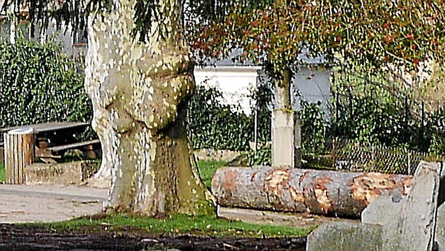 La grume du cèdre va rejoindrela scierie de Laurent Viala.