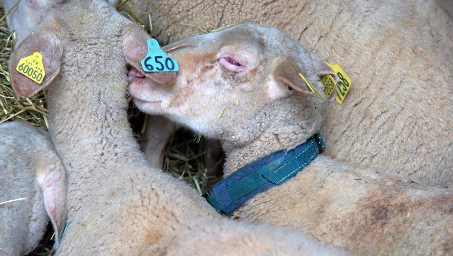 Le collier (bleu) anti-loup se déclenche quand la brebis est attaquée. Il émet alors des ultrasons qui font fuir  le prédateur.