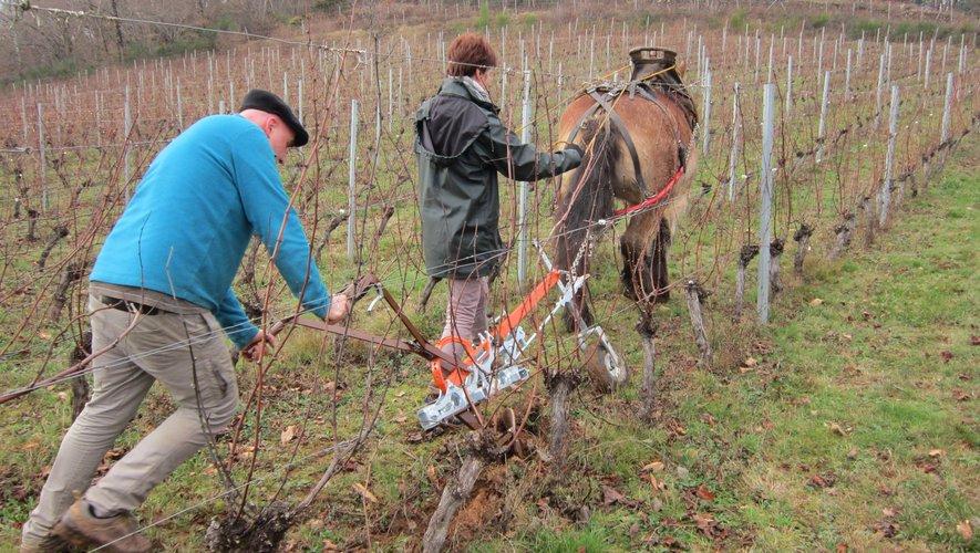 En plein travail, dans la vignede Carays.