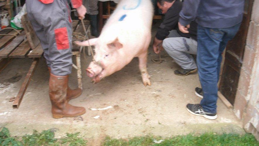 La tradition du cochon est respectée