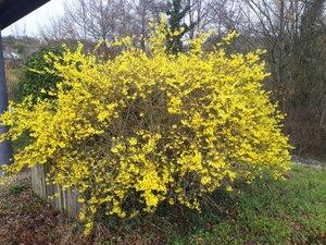 Un magnifique forsythia,au jaune éclatant.