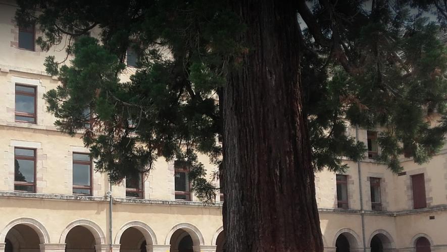 Le séquoia géant du temps de sa splendeur dans la cour du collège.