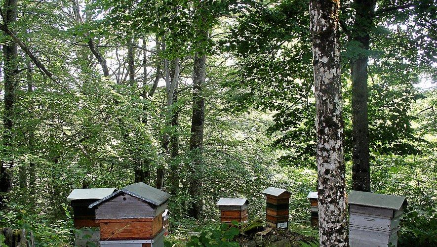 Le vol de ruches, une problématique qui inquiète de plus en plus les apiculteurs.
