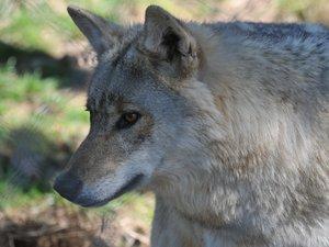 Les éleveurs doivent composer le 05 65 73 50 90 pour contacter la DDT en cas d'attaque du loup.