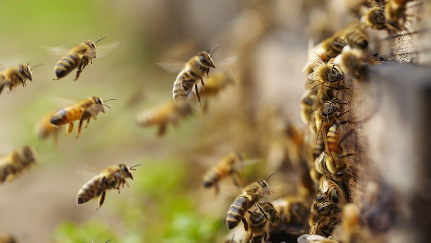 Conscient de l'apport crucial de ses abeilles, Alexandre Prot est aux petits soins avec ses ouvrières.