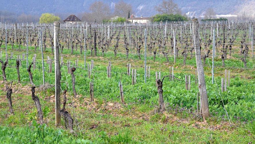 L'on assiste au retour de l'herbe dans les rangs, comme ici dans le vignoble cadurcien.