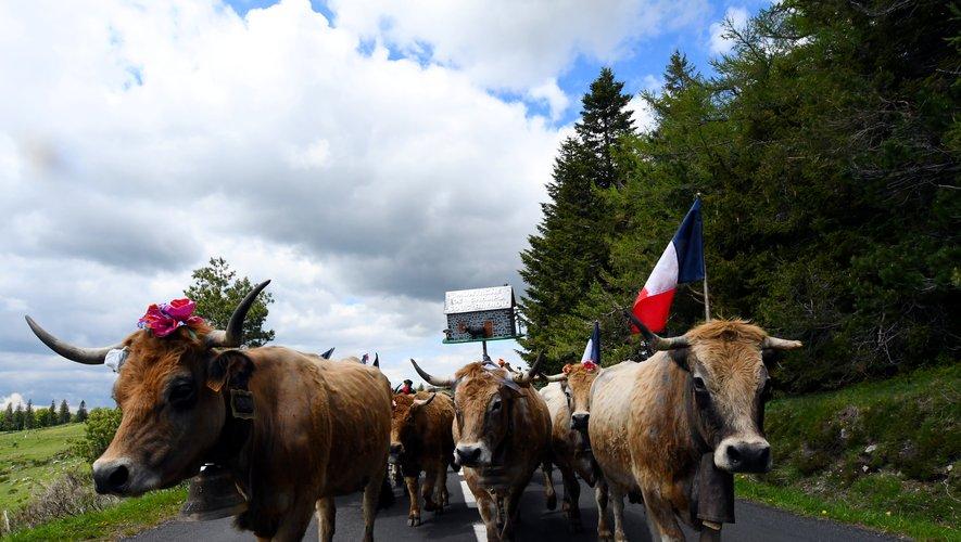 Les troupeaux sont pressés de rejoindre les estives.