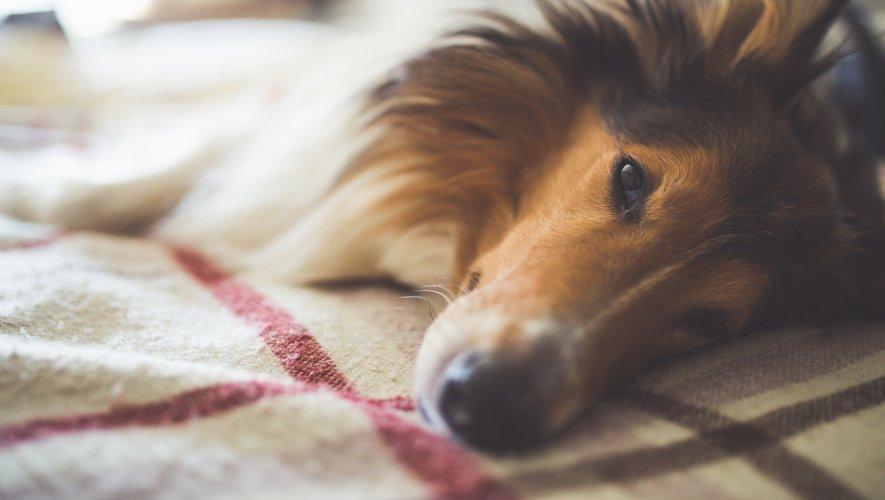 Les chercheurs ont constaté que les chiens des propriétaires souffrant de stress chronique présentaient des taux de cortisol élevés, à l'image de leur maîtresse.