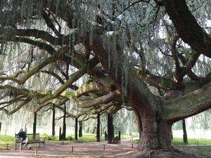 Un arbre remarquable. Beaucoup d'autres vous attendent lors de cette soirée.