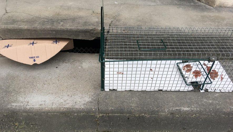 L'association piège des rats.