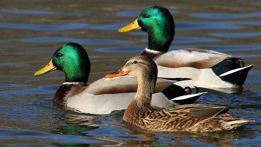 Deux canards ont été victimes des coups de pagaies.
