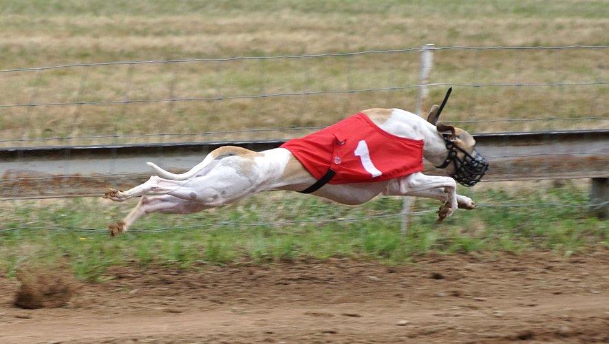 La beauté et l'élégance du lévrier « volant » pendant la course.