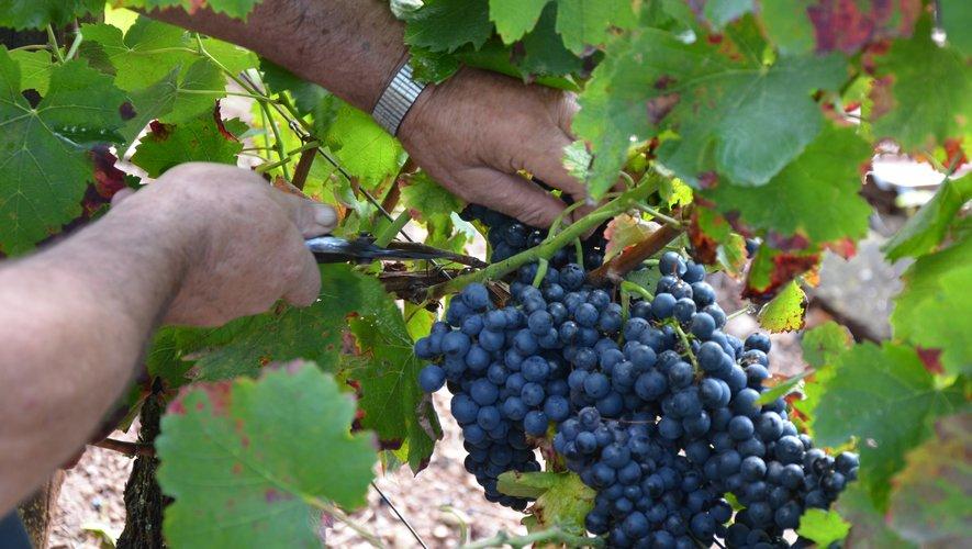 La cueillette des raisins a débuté