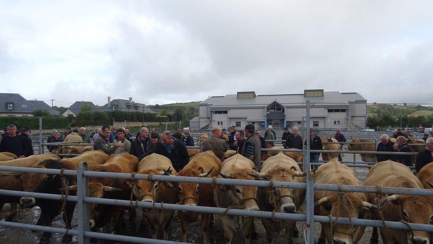 Quatre-vingts animaux de la race aubrac présents sur le foirail.