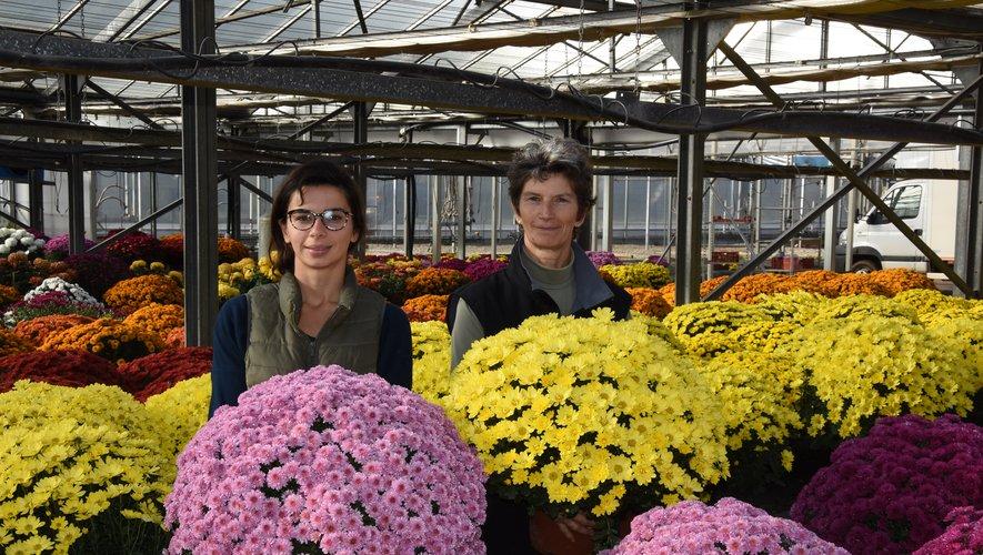 Le chrysanthème, star de nos cimetières