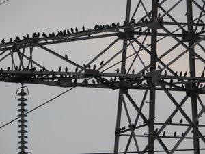 Des oiseaux massivement perchés sur un pylône