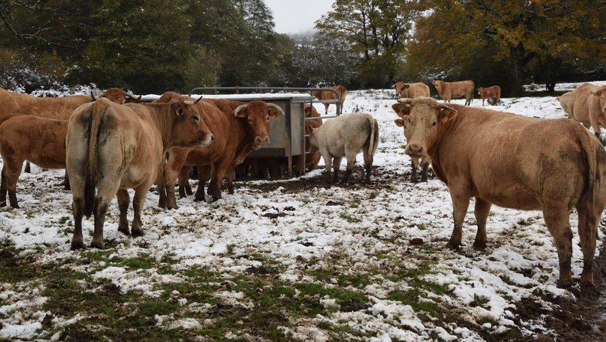 A l'instar du taureau, les vaches avaient aussi les pieds dans la neige !