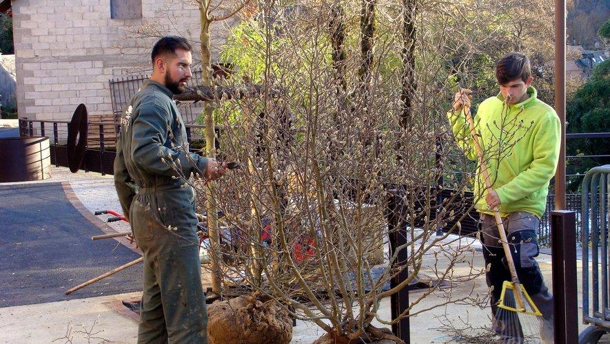 Avant plantation, de grands soins sont apportés à la taille des magnolias.