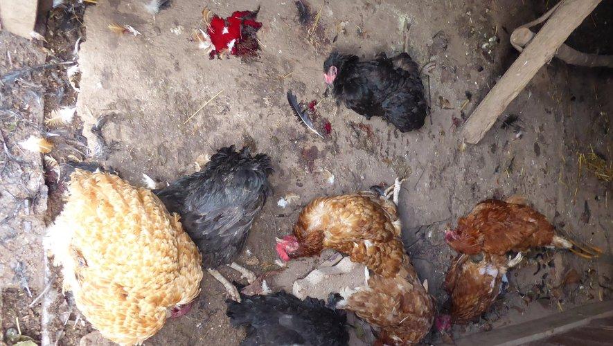 Les 9 poules ont été saignées au cou !