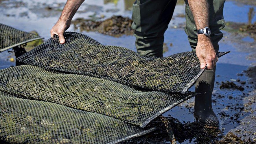 Plusieurs bassins de production de coquillages sont à l'arrêt dans le Morbihan et la Baie du Mont-Saint-Michel après la contamination d'huîtres au virus de la gastro-entérite.