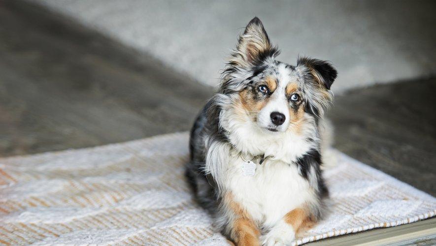 Le berger australien, de taille moyenne, affectueux et robuste, est toujours le chien préféré des Français