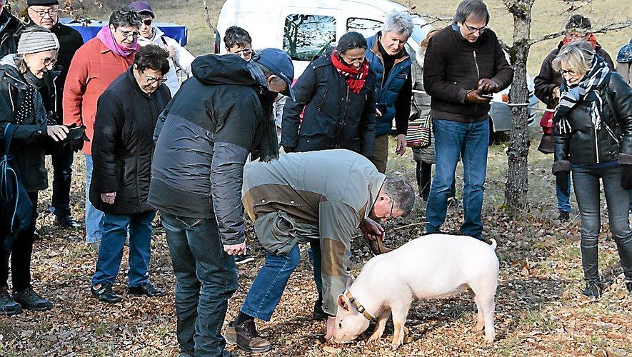 A la truffière de Grèzes, à quelques minutes de voiture de Lalbenque. Sur un terrain appartenant à la communauté de communes, et qui n'est plus exploité, un trufficulteur explique la technique de cavage avec son cochon « Kiki »…