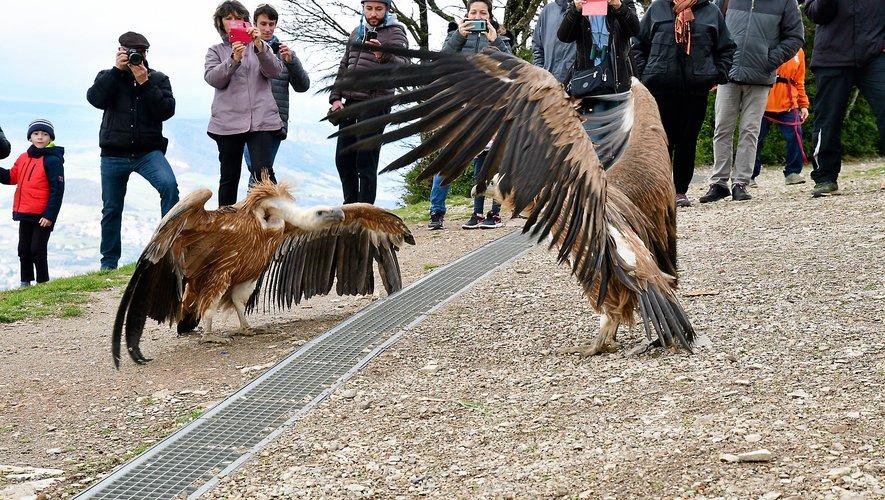 Avant de s'envoler un peu maladroitement, les oiseaux ont testé leurs ailes devant de nombreux spectateurs venus soutenir le CRSFSC.