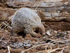 Coronavirus : le pangolin, possible chaînon manquant