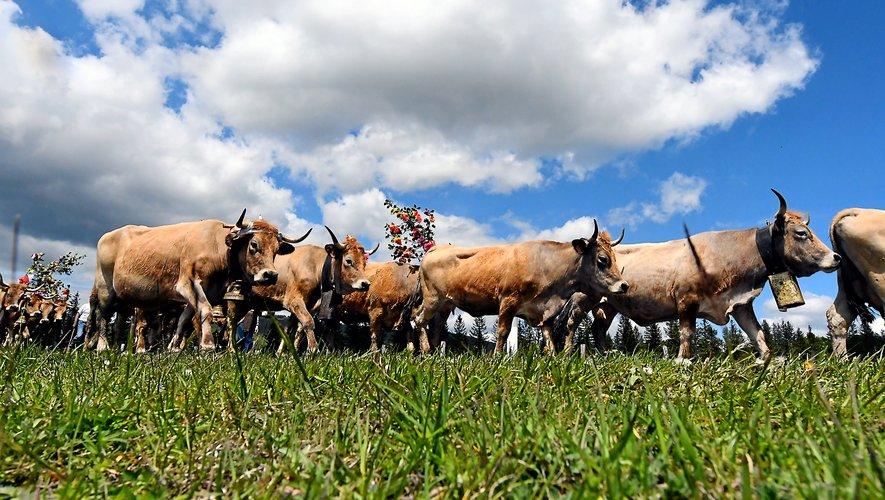 Les troupeaux sont attendus dimanche 24 mai à Aubrac,  à partir de 11 heures.