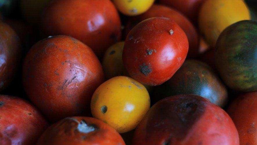 Le «virus de la tomate» détecté dans le Finistère