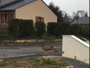 Un chevreuil dans les rues de La Primaube : insolite !