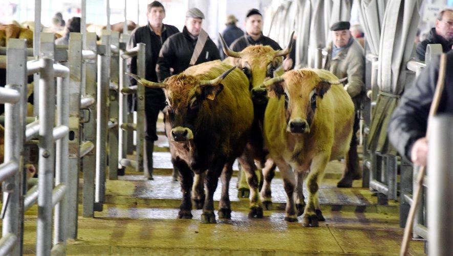 Le marché aux bestiaux retrouve Laissac mardi 21 avril.