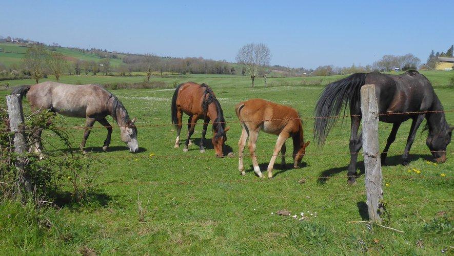 Des chevaux et un poulain en train de paître paisiblement.