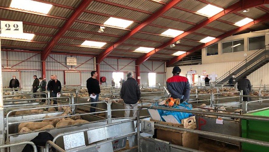 Le marché ovin a rouvert !
