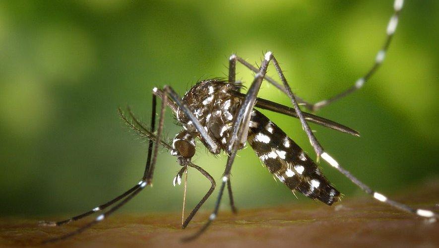 L'an passé, le moustique tigre a été reconnu responsable de 400 cas de dengue en France.