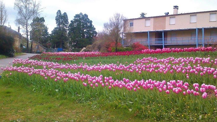 Des jolies tulipes.