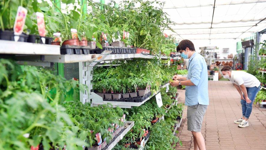 Les plants de tomate : un des produits phares des jardineries aveyronnaises depuis  la mi-avril.