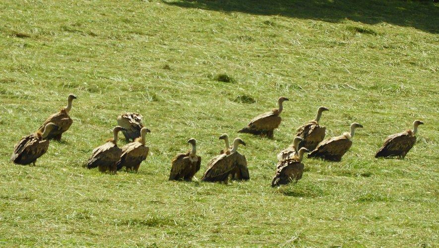 Des vautours dans les environs de Florentin.