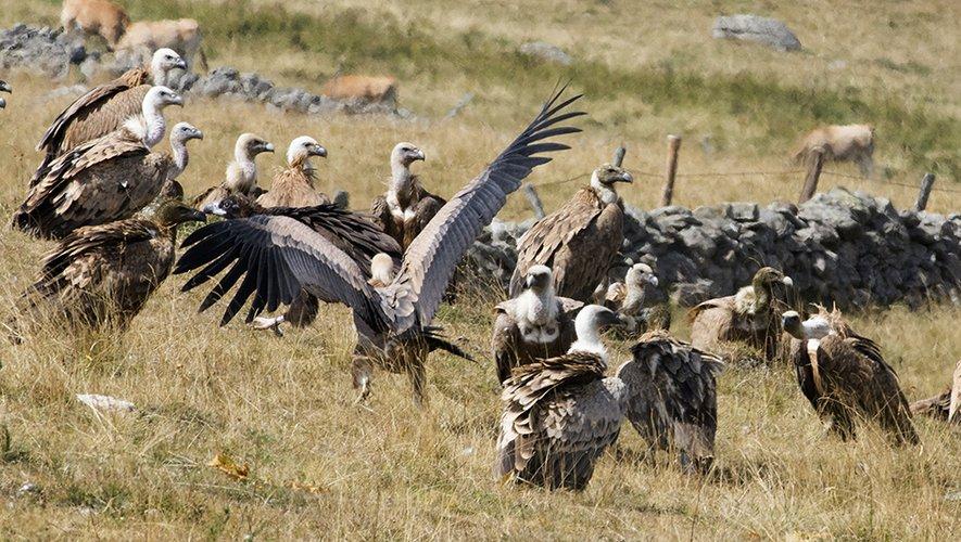 Les vautours immortalisés sous l'objectif de Renaud Dengreville non loin du buron de la Treille.