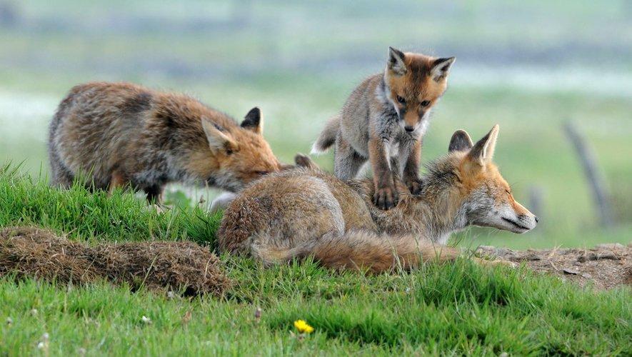 Les renards de Renaud Dengreville.