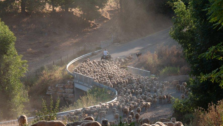 La sortie matinale des brebis de la ferme de Mas Marcou, sur le causse.