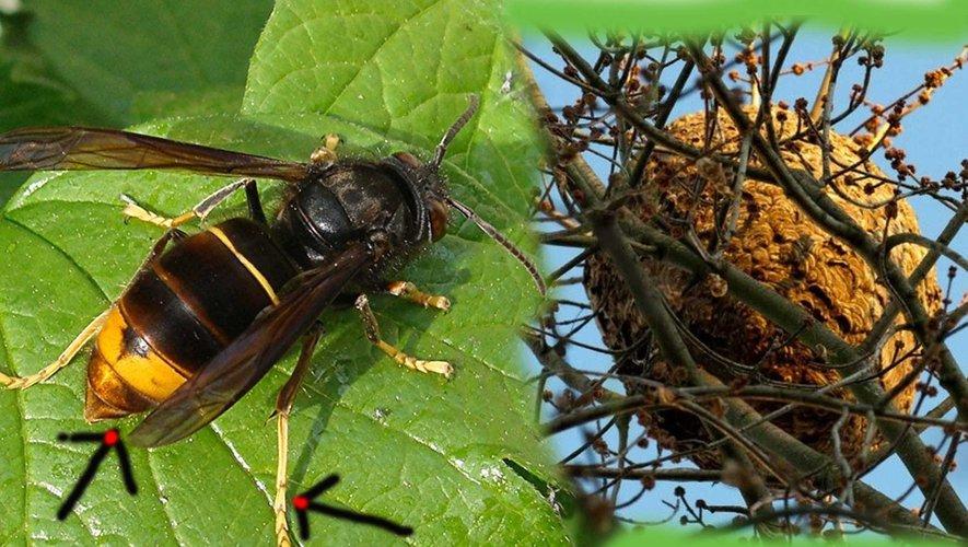 Le frelon asiatique avec ses pattes jaunes et son nid.