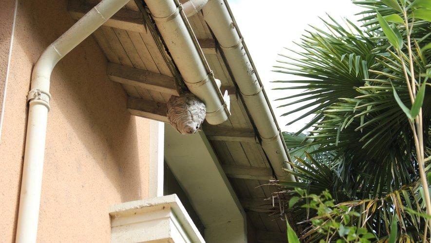 Des nids de frelons asiatiques peuvent se nicher sur des toits de maison.