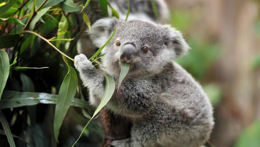 Regarder des vidéos d'animaux mignons, comme le koala, aiderait à réduire son stress