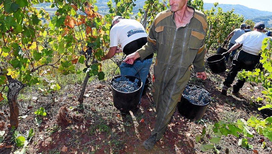À une altitude moyenne  de 400 mètres, ces vignes sont vendangées uniquement à la main.