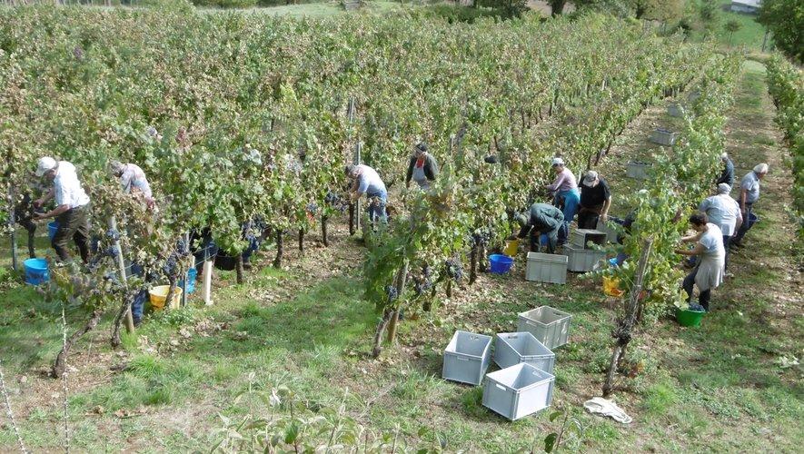 Vendanges dans les vignes de Nicole et Alain Ginisty sur la commune de Sébrazac.
