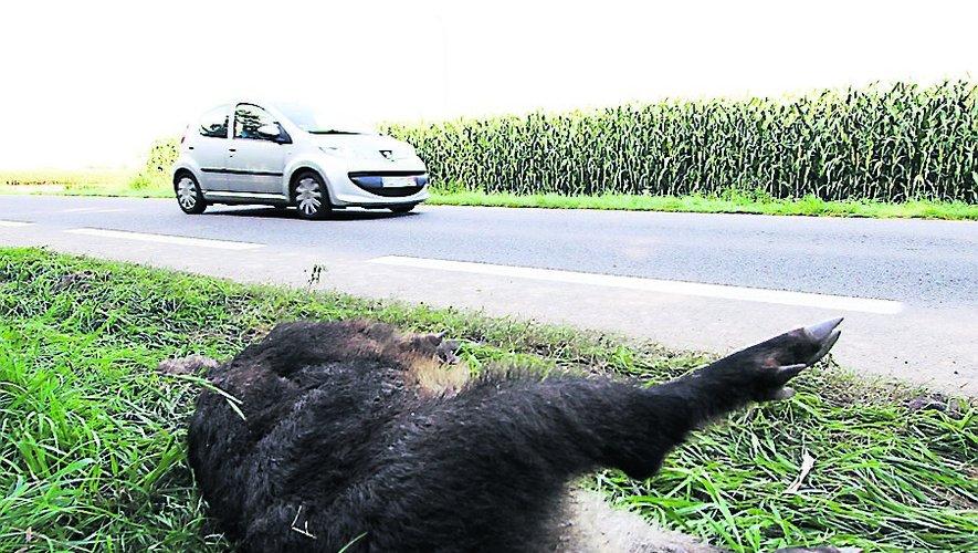 Les sangliers peuvent être la cause d'accidents de la route.