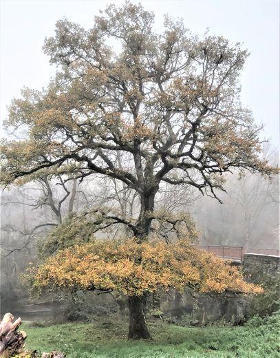 Un arbre remarquable au bord du Vioulou