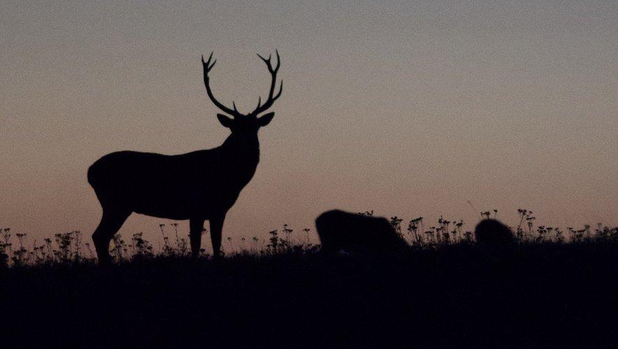 Le cerf, majestueux, mis en boîte par son ami Rémy Attanasio.
